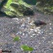 Креветка сулавеси голубоногая (Blue Leg Poso Shrimp)