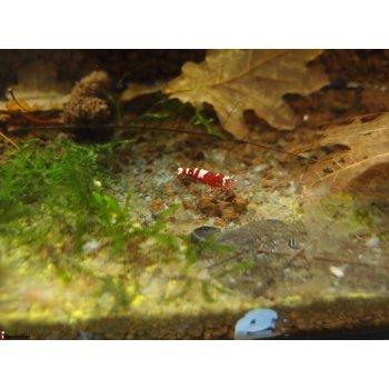 Креветки Red Pinto