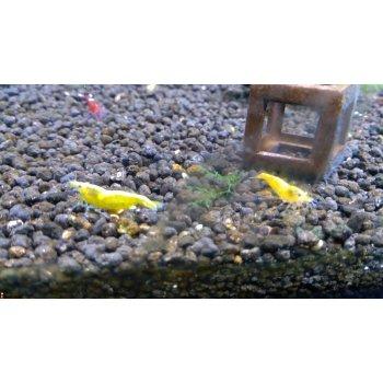 Креветки Желтый неон (Neocaridina heteropoda var. Yellow neon)