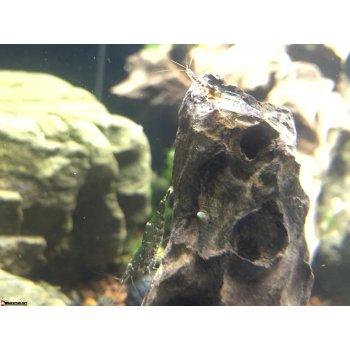 Креветка сулавеси caridina sarasinorum
